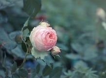 Garden rose Royalty Free Stock Photos