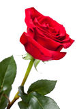 Garden rose Royalty Free Stock Image