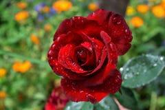 Garden rose. Closeup of beauty rose Stock Photography