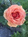 Garden rose flower from above stock photo