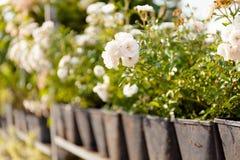 Garden rose flower selection, botanical shop.  royalty free stock photos