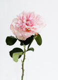 Garden rose on a green stalk in clear small vase. One full-blown pink color garden rose on a green stalk, on white background, vertical image Royalty Free Stock Photography