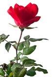 Garden rose isolated on white background. Garden rose isolated on a white background Stock Photo