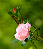 Garden rose in natural condition Royalty Free Stock Photo