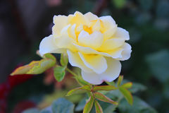 Garden Rose. Nature background with yellow garden rose Royalty Free Stock Photography