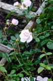 Garden Rose. Pink and white climbing rose Stock Photo