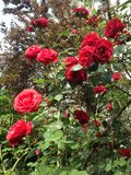 Garden rose. Plant vertical photo Stock Image