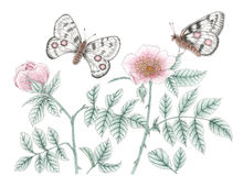 Garden rose plants and mountain Apollo Parnassius apollo butte. Rflies over white background. Colored pencils on paper Stock Image