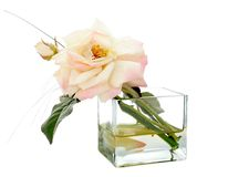 Garden rose in a vase. Isolated on a white background Royalty Free Stock Photo