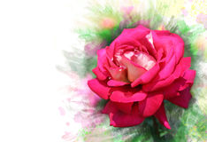 Garden rose.Watercolor effect. Close-up of garden rose.Watercolor effect Royalty Free Stock Photo