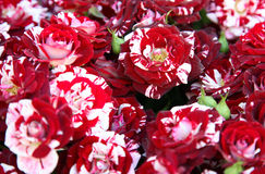 Garden roses stock image
