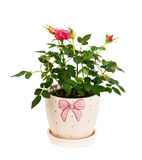 Garden roses Royalty Free Stock Photography