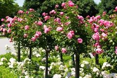 Garden Roses Stock Photography