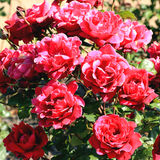 Garden roses Royalty Free Stock Photos