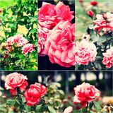 Garden roses on bush. Collage of colorized images. Toned photos set Royalty Free Stock Photos