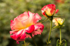 Garden roses Royalty Free Stock Photo
