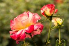 Garden roses. Closeup pink detail Royalty Free Stock Photo