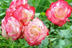 Garden roses with dew after rain Stock Images