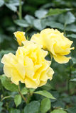 Garden roses of different colors Stock Photo