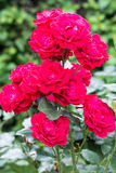 Garden roses of different colors Royalty Free Stock Photo