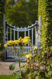 Garden roses and gate. Image of yellow garden roses with out of focus gate in the background royalty free stock image