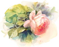 Garden Roses Watercolor Flowers Illustration Hand Painted Royalty Free Stock Photography