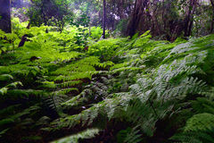 Garden Route Forest With Ferns - South Africa Stock Photo
