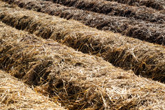 Garden Rows Mulched with Hay Royalty Free Stock Image