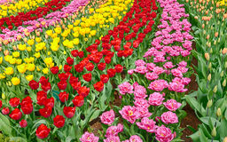 Garden rows with vibrant tulips Royalty Free Stock Photo