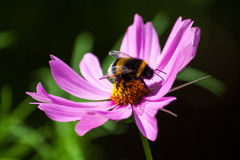 Garden royal cafe. Bumble bee on the flower. Macro photography of nature Stock Images
