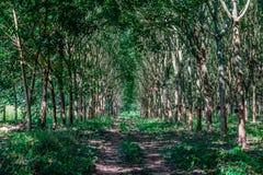 Garden rubber tree Royalty Free Stock Photos