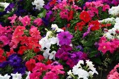 Garden's flower. Beautiful flowers in the garden Stock Images