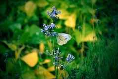 Garden's white butterfly on a flower. stock photo