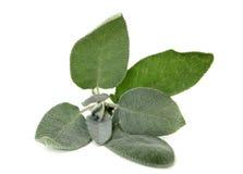 Garden Sage. (salvia officinalis) on white background royalty free stock photos