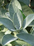 Garden Sage. The Salvia officinalis (garden sage, common sage) is a perennial, evergreen subshrub, with grayish leaves, and blue to purplish flowers and is Stock Photos