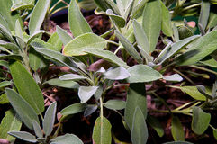 Garden sage. Close up of the garden sage plant, with its leaves filling the image Stock Images