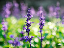 Garden sage Stock Photo
