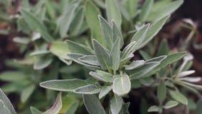 Garden Sage plant stock footage
