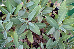 Garden sage plant leaves. Looking down on a healthy organic garden sage plant growing in a pot Royalty Free Stock Photo
