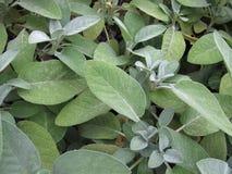 Garden sage, Salvia officinalis Stock Photos