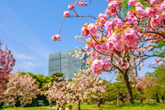 Garden Sakura Tokyo. Blossoming cherry tree branch in Hamarikyu Gardens, Tokyo, Chuo district, Japan. Shiodome buildings on blurred background. Spring concept Stock Images
