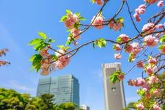 Garden Sakura Tokyo. Detail of blossoming cherry tree branch in Hamarikyu Gardens, Tokyo, Chuo district, Japan. Oriental japanese garden. Shiodome buildings on Stock Images