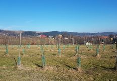 A garden of saplings of young fruit trees located on a green hill against the backdrop of a picturesque landscape. Cultivation and royalty free stock image