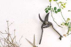 Garden scissors on a white background branches of plants.  Stock Photo