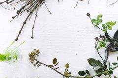 Garden scissors on a white background branches of plants.  Royalty Free Stock Photo