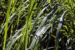 Garden sedge on sunny summer day Stock Photos