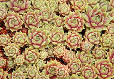 Garden Sedum Stock Image