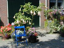 Garden setting with Datura. Garden setting with blue chair and Datura flowers royalty free stock image