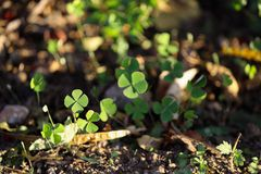 Garden with several four leaf clovers royalty free stock image