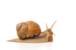 Garden shail. Garden snail isolated on white background Stock Image